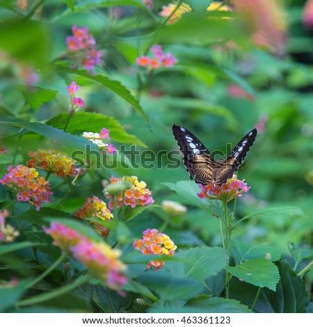 Persian Shield S Dyerianus Victoria Canada Stock Photo 463361138 Shutterstock