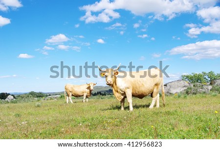 brown cows in a field