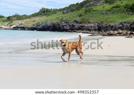 Brown Dog running on the beach having fun, Running in hot weather.