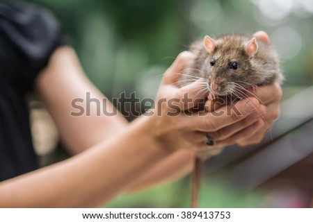 Brown domestic pet rat hand held in woman hand opn blurred green background