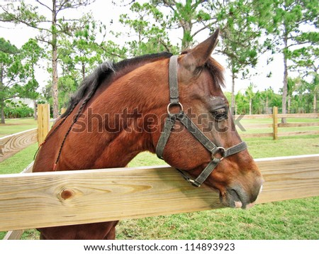 Brown horse looking out of pasture over wooden fence