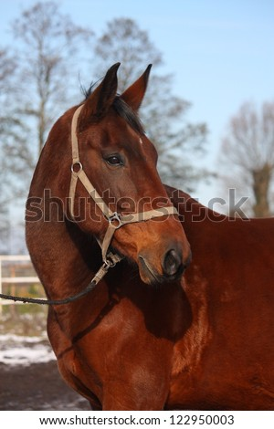 Brown horse portrait at the countryside in winter
