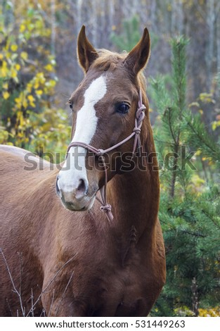 brown horse with a white blaze on his head is standing on background of the autumn forest
