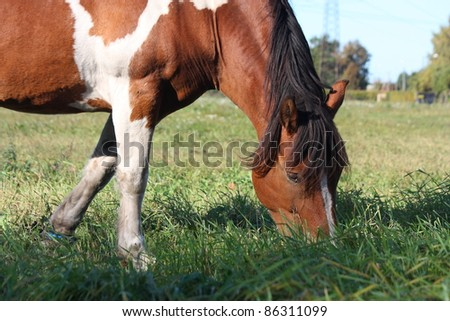 Brown horse with white marks eating grass at the field