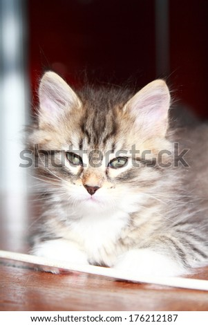 brown kitten of siberian breed at two months
