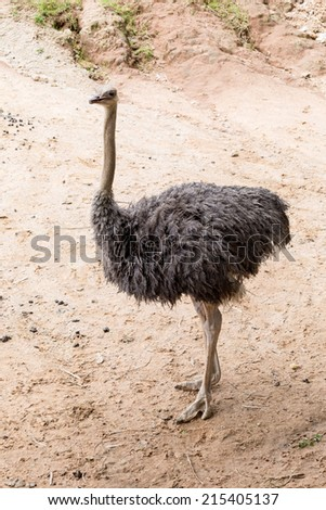 Brown ostrich black feathers walking on sand