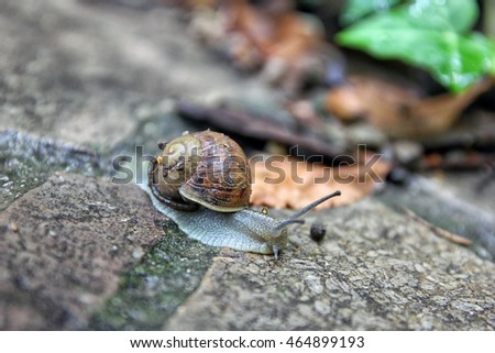 brown snail round shell with stripes and with long horns crawling on old grey stone closeup