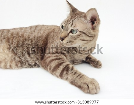 Brown tabby cat isolated on white