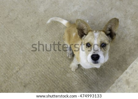 brown white big ear cute puppy look up from ground shallow depth of field