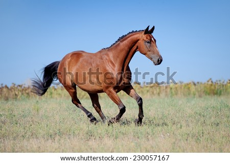 Brown young sport horses running gallop on the field with braided mane on field background