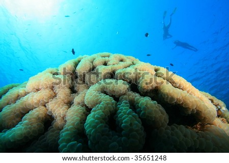Bubble Coral (Plerogyra sinuosa) with snorkelers above