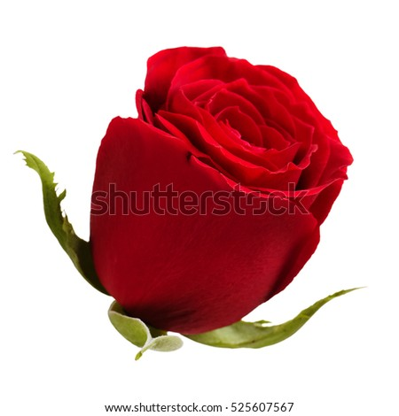 Bud fresh red roses on a white background