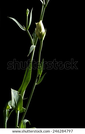 Bud of Eustoma flower isolated on a black background, close-up