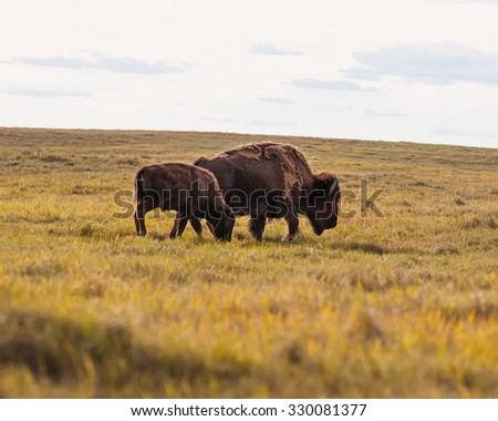 Buffalo Grazing on the Prairie