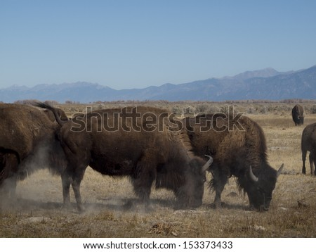 Buffalo herd on Zapata Ranch, Colorado.