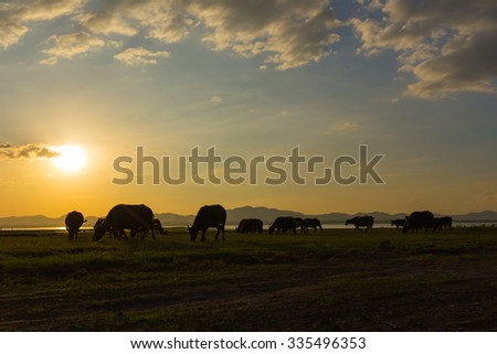 Buffalo on the Meadow sunset