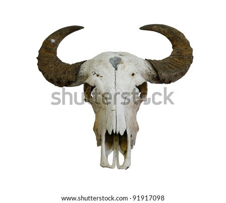 buffalo skull with horns on white (path in side)