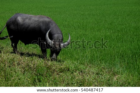 Buffalo standing in a field grasses, rice field background