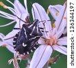 Bug Codophila maculicollis on the plant - stock photo