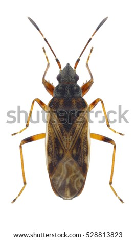 Bug Pachybrachius fracticollis on a white background