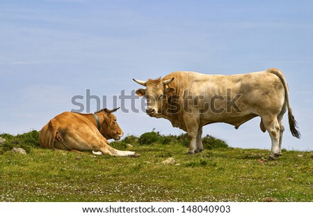 bull and cow in the field