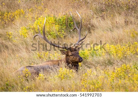Bull Elk Laying in the Wildflowers