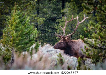 Bull Elk Walking Out of the Pines