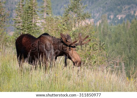 Bull moose with velvet on antlers during the summer
