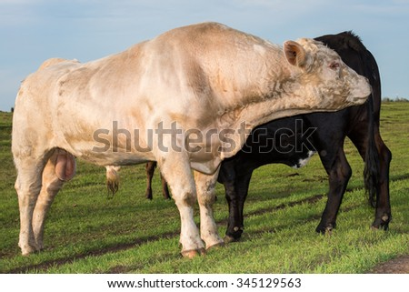 bull sniffing a cow for breeding