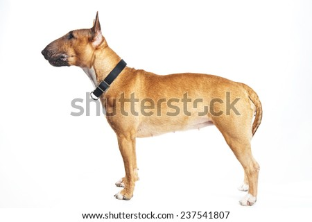 Bull terrier on a white background