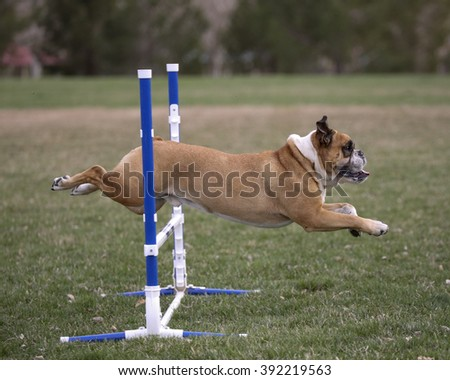 Bulldog going over an agility jump, side view