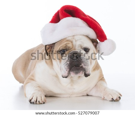 bulldog wearing santa hat with sweet expression on white background