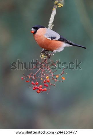 Bullfinch, Pyrrhula pyrrhula, single male on red berries, Warwickshire, January 2015