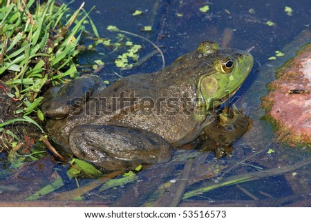 Bullfrog Close-up