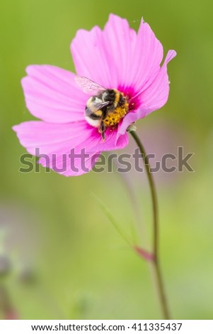 bumble bee on Cosmos bipinnatus