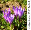 Bumblebee and crocus flowers - stock photo