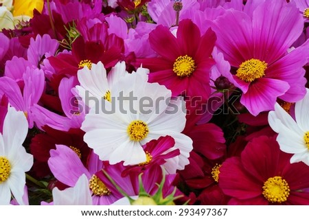Bunch of mixed colors cosmos flowers in bloom