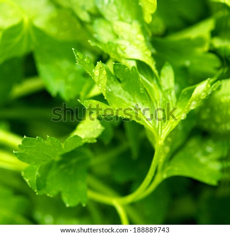 bunch of parsley droplets in close-up