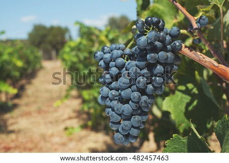 Bunch of purple red wine grape growing in fields