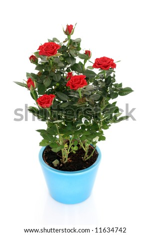 bunch of red roses in pot isolated on white
