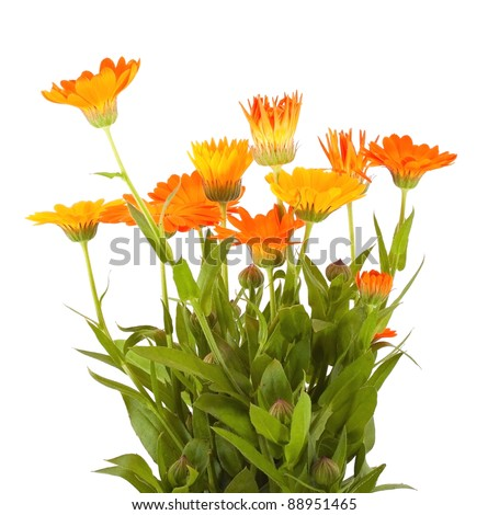 Bunch of the calendula flowers on white background