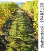 Bunches of ripe grapes on the ground. Vineyard in Montreux, Switzerland - stock photo