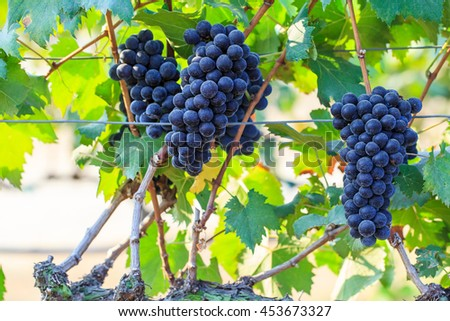 Bunches of wine grapes in vineyard, Thailand