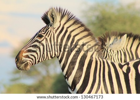 Burchell's Zebra as seen on a game ranch in Namibia - A fantastic close-up of a Mare at dusk.  The background melts into her stripes and pose.