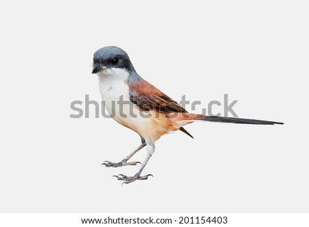 Burmese Shrike (Lanius collurioides) on white background