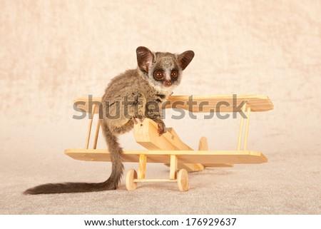 Munchkin Cross Sphynx Bambino Cat Stock Photo 67438027