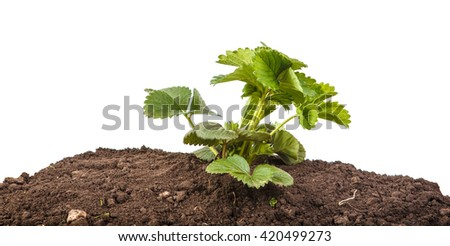 bush of strawberry in soil isolated on white background
