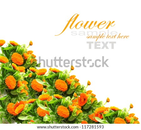 Bushes of orange Calendula for background use isolated on white