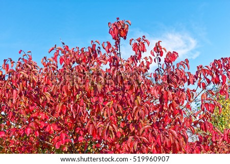 Bushes with red leaves of Cornus sanguinea (in Latin: Thelycrania sanguinea), the common dogwood in autumn on the background of blue sky