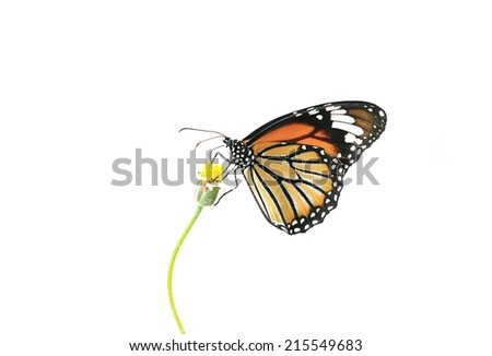 Butterfly (Common Tiger) and flower isolated on white background